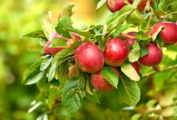 Drzewa Owocowe Jakie Gatunki Uprawiane Są Najczęściej