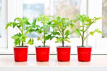Własna Uprawa Pomidorów Jak Ją Założyć Leroy Merlin